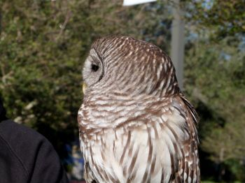 Northern Barred Owl (Strix varia) LPZ by Lee - Side of head