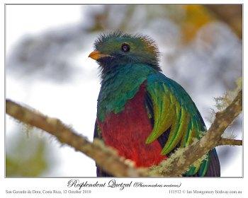Resplendent Quetzal (Pharomachrus mocinno) by Ian