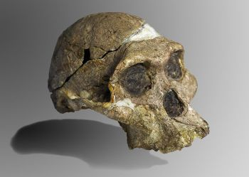 Evolution stuff - Australopithecus sediba-Mrs_Ples