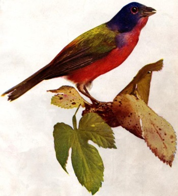 Painted Bunting (Passerina ciris) - Drawing
