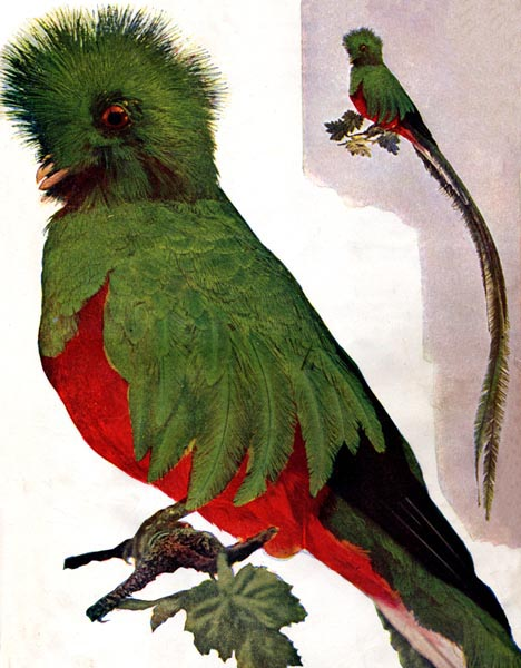 Resplendent (Trogon) Quetzal (Pharomachrus mocinno)