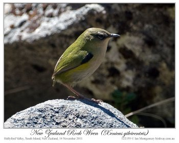 New Zealand Rockwren (Xenicus gilviventris) by Ian 2