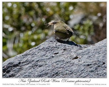 New Zealand Rockwren (Xenicus gilviventris) by Ian 4