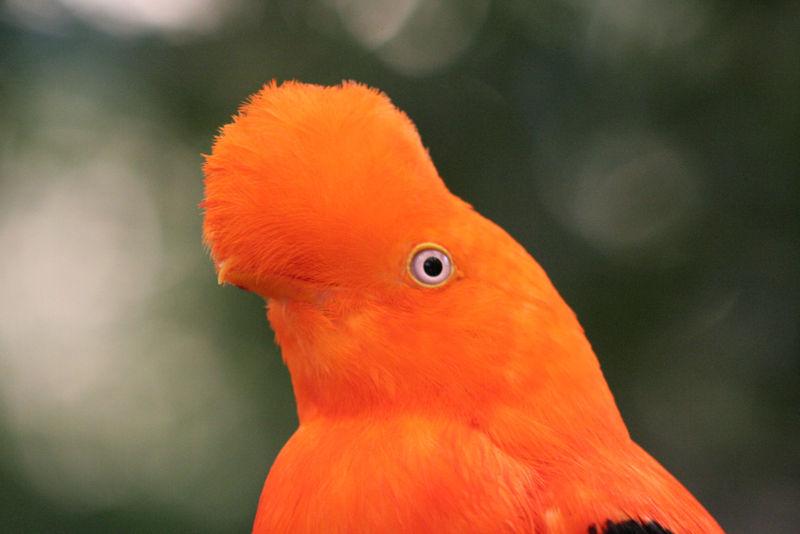Andean Cock-of-the-rock (Rupicola peruvianus) by ©Wiki Closeup