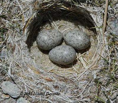 Horned Lark (Eremophila alpestris) nest w eggs by Nikhil Devasar