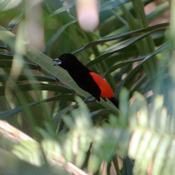 Cherrie's Tanager (Ramphocelus costaricensis) WikiC
