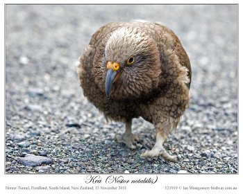 Kea (Nestor notabilis) by Ian #1