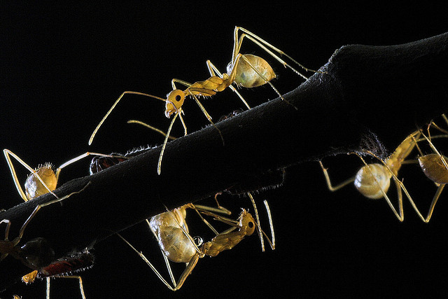 Ants and aphids on a mango tree ©binux
