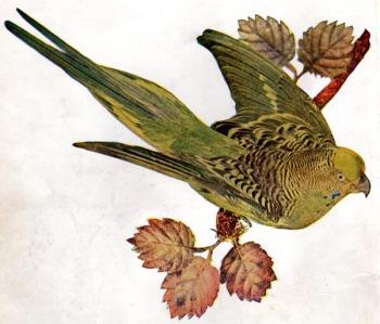 Elegant Parrot (Neophema petrophila) aka Australian Grass Parakeet