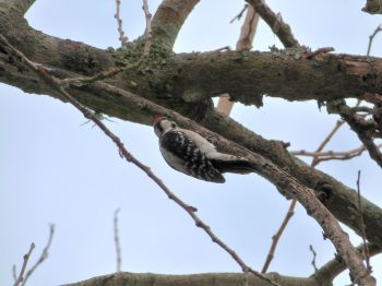 Downy Woodpecker by Lee Lake Parker Park