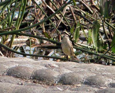 Palm Warbler cropped by Lee LPP