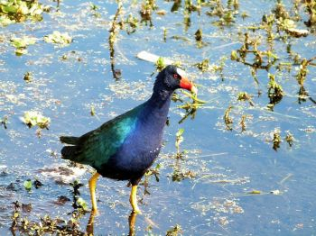 Purple Gallinule by Lee at Lake Parker 1-7-12