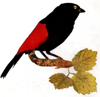 Red-Rumped Tanager