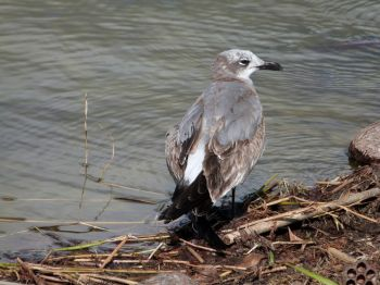 Laughing Gull Imm injured wing
