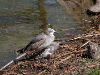 Laughing Gull Imm injured wing
