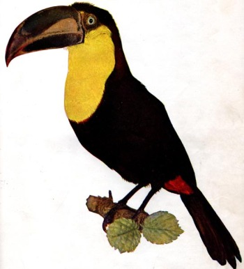 Black-mandibled Toucan (Ramphastos ambiguus) for the Birds Illustrated article