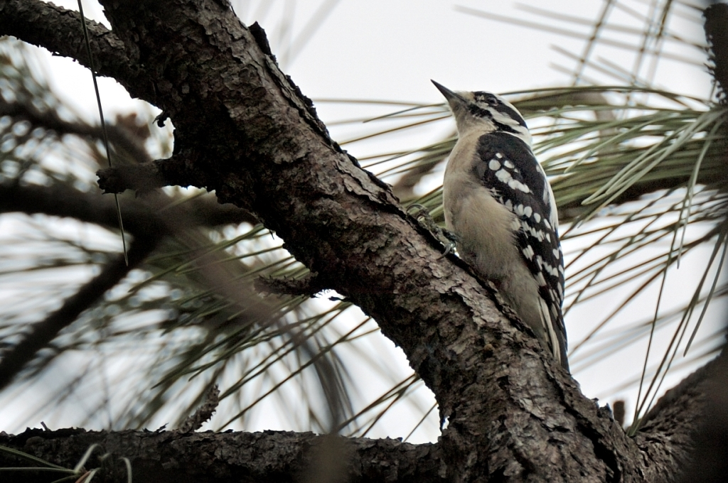 Downy Woodpecker Drumming Downy Woodpecker Picoides