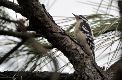 Downy Woodpecker (Picoides pubescens) Brevard Zoo by Dan