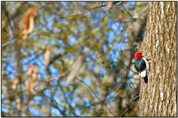 Red-headed Woodpecker (Melanerpes erythrocephalus) by Daves BirdingPix