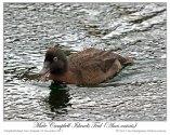 Campbell Teal (Anas nesiotis) by Ian 4