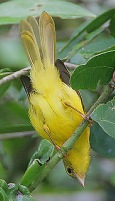 Little Yellow Flycatcher (Erythrocercus holochlorus) ©WikiC