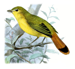 Livingstone's Flycatcher (Erythrocercus livingstonei) Drawing WikiC