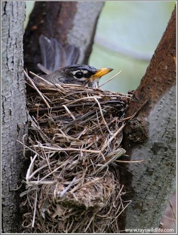 American Robin (Turdus migratorius)  by Raymond Barlow