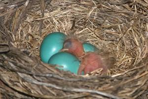 American Robin (Turdus migratorius) Eggs and 1 hatchling ©©SenzEnina