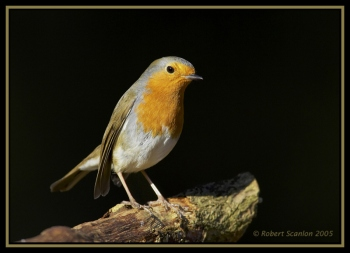 European Robin (Erithacus rubecula) by Robert Scanlon