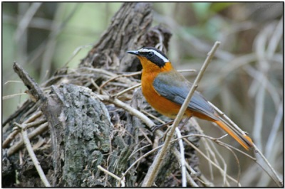 White-browed Robin-Chat (Cossypha heuglini) by Daves BirdingPix