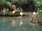 American Flamingo (Phoenicopterus ruber) Brevard Zoo by Lee