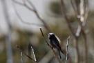 Black Rosy Finch (Leucosticte atrata) ©©Michaelandhelencox