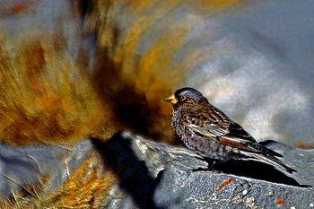 Black Rosy Finch (Leucosticte atrata) ©WikiC
