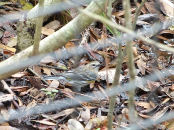 Myrtle Warbler (Setophaga coronata) Brevard Zoo by Lee