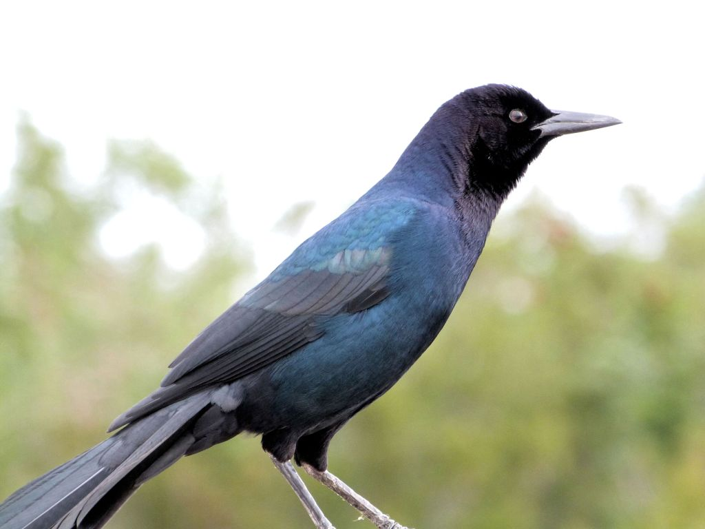 Boat-tailed Grackle (Quiscalus major) at Viera by Lee