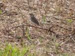 Savannah Sparrow (Passerculus sandwichensis) by Lee at Viera Wetlands