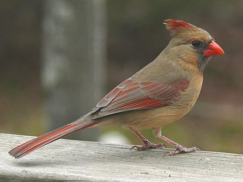 Northern Cardinal (Cardinalis cardinalis) Female ©WikiC