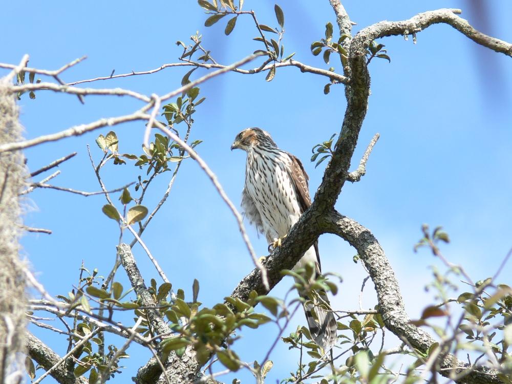Bird of the Bible - Hawks (4/4)