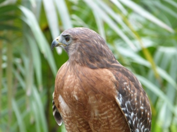 Red-shouldered Hawk (Buteo lineatus) Brevard Zoo by Lee