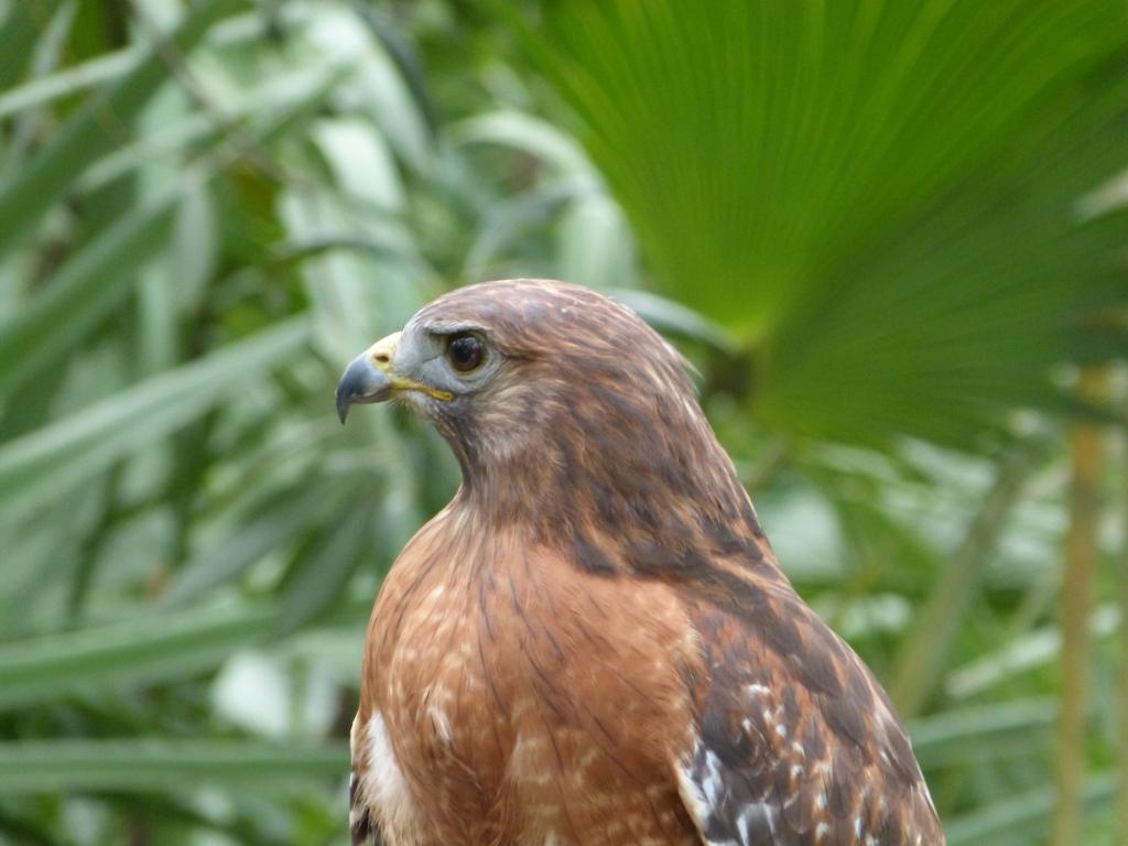 Red Shouldered Hawk Buteo Lineatus Brevard Zoo By Lee