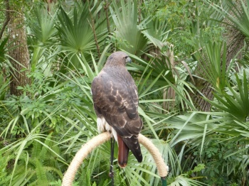 Red-tailed Hawk (Buteo jamaicensis) Brevard Zoo by Lee