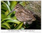 Subantarctic Snipe (Coenocorypha aucklandica) by Ian 1