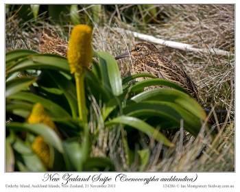 Subantarctic Snipe (Coenocorypha aucklandica) by Ian 3