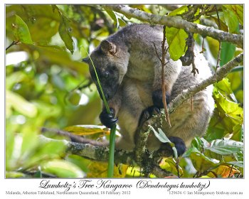 Lumholtz's Tree Kangaroo by Ian