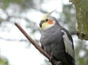 Cockatiel (Nymphicus hollandicus) Brevard Zoo by Lee