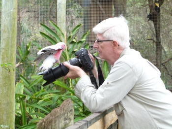 Galah (Eolophus roseicapilla) Hopping on the camera
