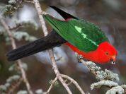 Australian King Parrot (Alisterus scapularis) WikiC