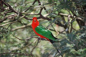 Papuan King Parrot (Alisterus chloropterus) ©WikiC