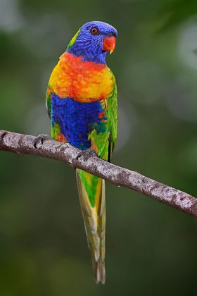 Rainbow Lorikeet (Trichoglossus moluccanus) WikiC