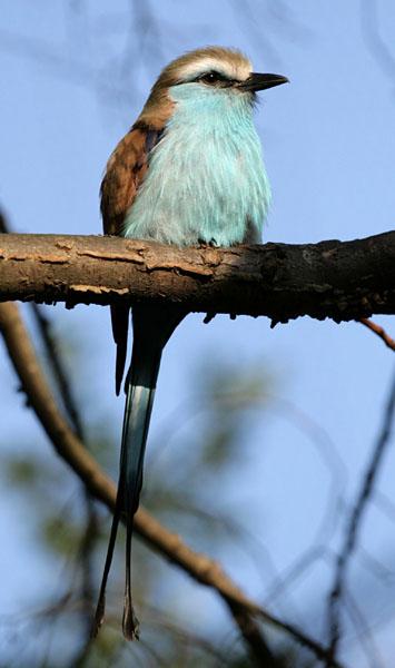 Racket-tailed Roller (Coracias spatulatus) ©WikiC